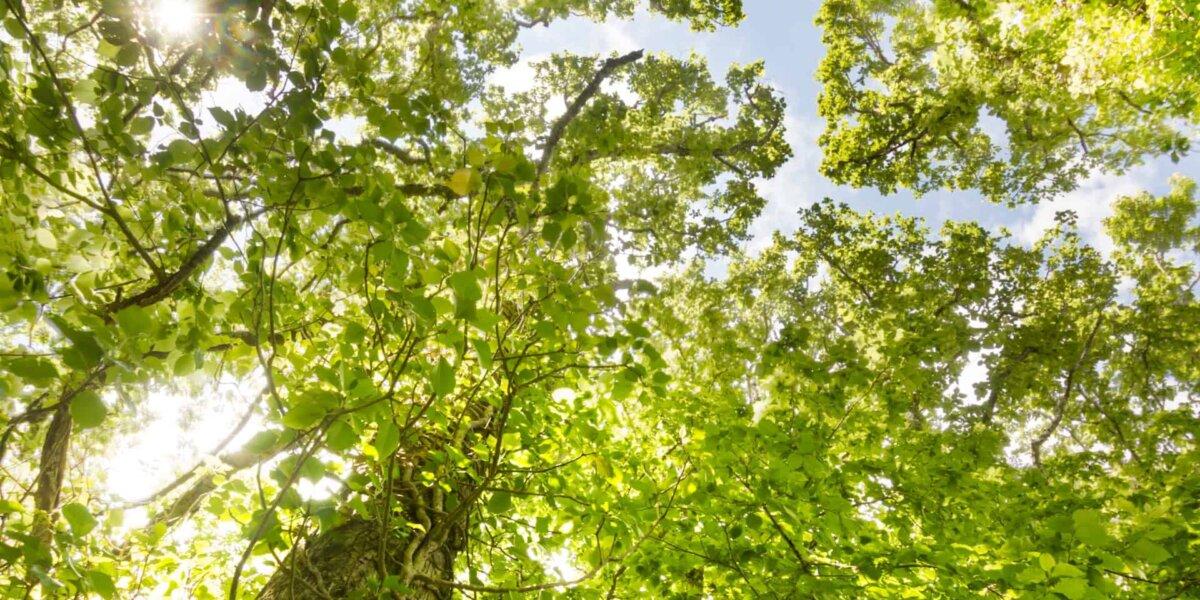 Elm trees UK