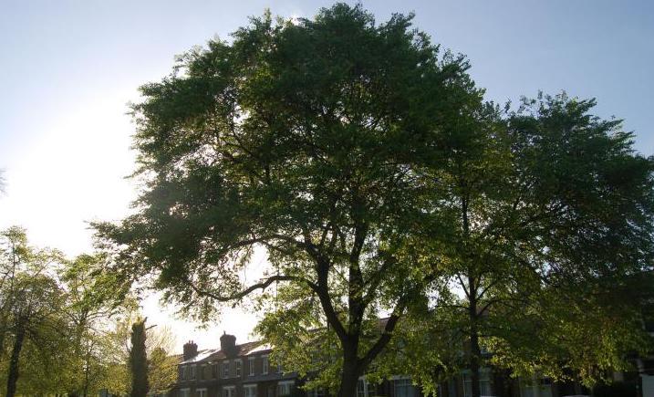 Elm trees 2