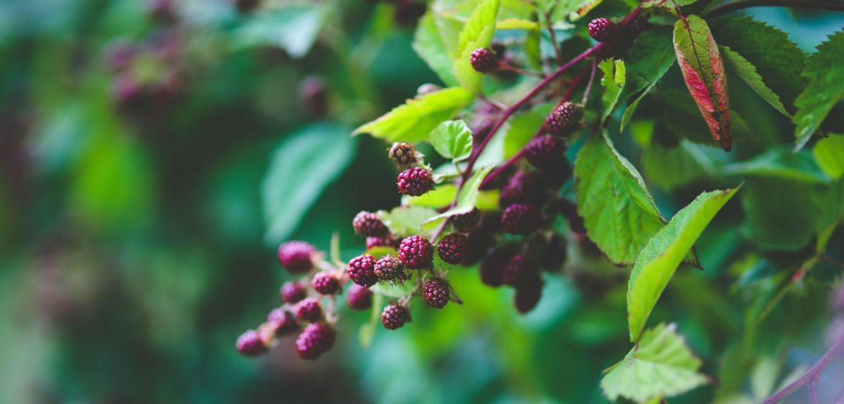 Blackberries bush_1200px