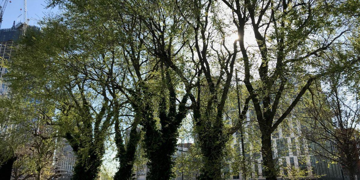 Elms Trees in Nine Elms